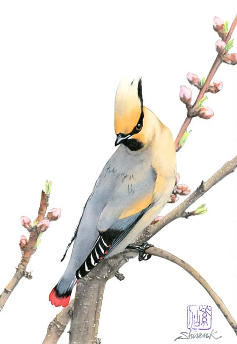 real_japanesewaxwing