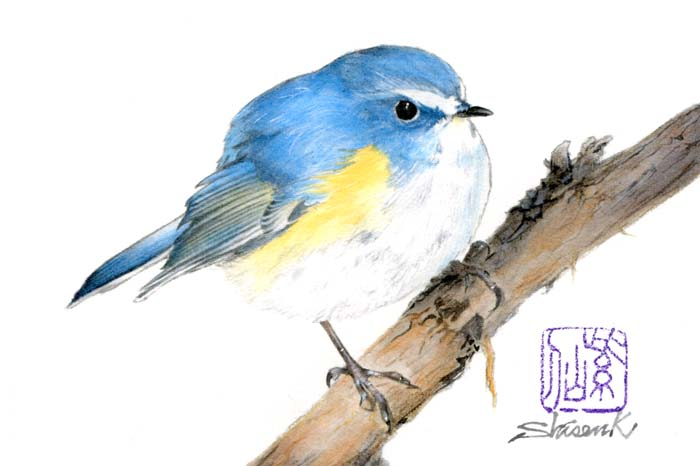 real_redflankedbluetail